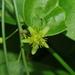 Passiflora pallida - Photo (c) Wayne Fidler, osa oikeuksista pidätetään (CC BY-NC)