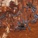 Stolotermes ruficeps - Photo (c) Mike Lusk, algunos derechos reservados (CC BY-NC)