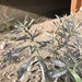 Thermopsis lanceolata - Photo (c) Alla Verkhozina,  זכויות יוצרים חלקיות (CC BY-NC)