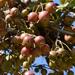 Malus prunifolia - Photo (c) Kim, Hyun-tae, μερικά δικαιώματα διατηρούνται (CC BY)