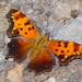 Polygonia progne - Photo (c) greglasley, algunos derechos reservados (CC BY-NC), uploaded by Greg Lasley