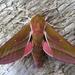 Polilla Esfinge Morada - Photo (c) Andy Phillips, algunos derechos reservados (CC BY-ND)
