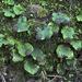 Peltigera venosa - Photo (c) Richard Droker, algunos derechos reservados (CC BY-NC-ND)