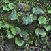 Peltigera venosa - Photo (c) Richard Droker,  זכויות יוצרים חלקיות (CC BY-NC-ND)