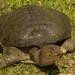 Apalone ferox - Photo (c) Nick Miller, μερικά δικαιώματα διατηρούνται (CC BY-NC-SA)