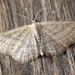 Scopula virgulata - Photo (c) Ben Sale, alguns direitos reservados (CC BY)