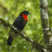 Red-ruffed Fruitcrow - Photo (c) Francesco Veronesi, some rights reserved (CC BY-SA)