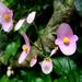 Begonias - Photo (c) Liu JimFood, algunos derechos reservados (CC BY-NC)