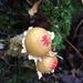 Calostoma lutescens - Photo (c) Emily p davis,  זכויות יוצרים חלקיות (CC BY-NC)