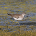 Solitary Sandpiper - Photo (c) Robin Gwen Agarwal, some rights reserved (CC BY-NC)