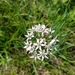 Allium ramosum - Photo (c) Amaël Borzée,  זכויות יוצרים חלקיות (CC BY-NC)