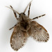 Moth Flies - Photo (c) cotinis, some rights reserved (CC BY-NC-SA)