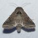 Lacinipolia erecta - Photo (c) Chuck Sexton, algunos derechos reservados (CC BY-NC)