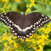 Palamedes Swallowtail - Photo (c) Bill Swindaman, some rights reserved (CC BY-NC)