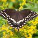 Papilio palamedes - Photo (c) Bill Swindaman, osa oikeuksista pidätetään (CC BY-NC)