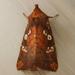 Papaipema baptisiae - Photo (c) Cathy Murray, algunos derechos reservados (CC BY-NC)