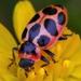 Coccinelloidea - Photo (c) Denis Doucet, algunos derechos reservados (CC BY-NC)