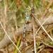 Zurcidora de Walsingham - Photo (c) Bill Carrell, algunos derechos reservados (CC BY-NC-ND)