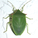 Spined Green Stink Bug - Photo (c) Chuck Sexton, some rights reserved (CC BY-NC)