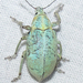 Blue-Green Citrus Root Weevil - Photo (c) Chuck Sexton, some rights reserved (CC BY-NC)