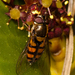Syrphus octomaculatus - Photo (c) Fernando Medrano Martínez,  זכויות יוצרים חלקיות (CC BY-NC)