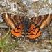 Dasyfidonia avuncularia - Photo (c) Yael Orgad, μερικά δικαιώματα διατηρούνται (CC BY-NC)