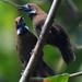 Macronus ptilosus - Photo (c) Tan Kok Hui, algunos derechos reservados (CC BY-NC)