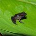 Pristimantis buccinator - Photo (c) acatenazzi, alguns direitos reservados (CC BY-NC)