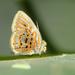 Mariposa Diamantina Panameña - Photo (c) Roger Rittmaster, algunos derechos reservados (CC BY-NC)