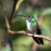 Versicolored Emerald - Photo (c) Dario Sanches, some rights reserved (CC BY-SA)