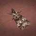 Scoparia charopoea - Photo (c) Nicholas John Fisher, μερικά δικαιώματα διατηρούνται (CC BY-NC)