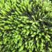Racomitrium aciculare - Photo (c) John D Reynolds,  זכויות יוצרים חלקיות (CC BY-NC)