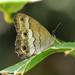 Graphita griphe - Photo (c) Roger Rittmaster, μερικά δικαιώματα διατηρούνται (CC BY-NC)