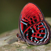 Metalmark Butterflies - Photo (c) soooonchye, some rights reserved (CC BY-NC)