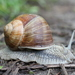Roman Snail - Photo (c) Björn S..., some rights reserved (CC BY-SA)