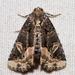 Homophoberia apicosa - Photo (c) fynkynd, algunos derechos reservados (CC BY-SA), uploaded by Fyn Kynd