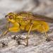 Scathophagidae - Photo (c) Nikolai Vladimirov,  זכויות יוצרים חלקיות (CC BY-NC)