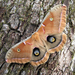 Antheraea polyphemus - Photo (c) Sean McCann,  זכויות יוצרים חלקיות (CC BY-NC-SA)