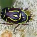 Escarabajos de Las Flores - Photo (c) Michael Jefferies, algunos derechos reservados (CC BY-NC)