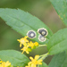 Asteromyia carbonifera - Photo (c) Mark Rosenstein, alguns direitos reservados (CC BY-NC-SA)