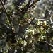 Plagianthus divaricatus - Photo (c) Jon Sullivan, algunos derechos reservados (CC BY-NC)