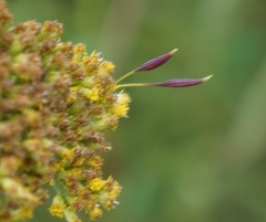 Context shot of R. pedicellata galls on Euthamia