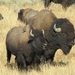 American Bison - Photo (c) cobal, some rights reserved (CC BY-NC)