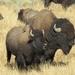 Bisonte Americano - Photo (c) cobal, algunos derechos reservados (CC BY-NC)