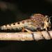 Promachus rufipes - Photo (c) Judy Gallagher, osa oikeuksista pidätetään (CC BY), uploaded by Judy Gallagher