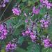 Indigofera australis - Photo (c) Jenny Donald, algunos derechos reservados (CC BY-NC)