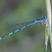 Azulilla de Estanque de Franja Doble - Photo (c) Benjamin Schwartz, algunos derechos reservados (CC BY-NC)