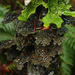 Lobaria anthraspis - Photo (c) Millifolium,  זכויות יוצרים חלקיות (CC BY-SA)
