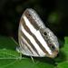 Pareuptychia ocirrhoe - Photo (c) Roger Rittmaster, μερικά δικαιώματα διατηρούνται (CC BY-NC)