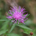 Monckton's Knapweed - Photo (c) Brad Walker, some rights reserved (CC BY-NC)